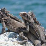 Zwei Iguana Meerechsen auf Stein